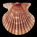 Aequipecten muscosus
