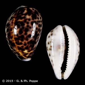 Cypraea tigris PHILIPPINES 66-75 FREAK