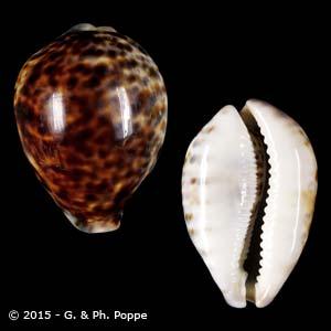 Cypraea tigris PHILIPPINES 86-90
