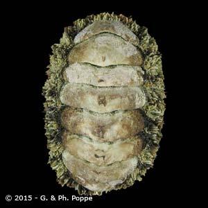 Acanthopleura gemmata