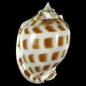 Phalium areola f. agnitum LARGE