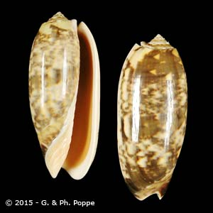 Oliva miniacea miniacea f. saturata