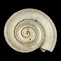Heliacus smithae