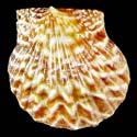 To Conchology (Leptopecten latiauratus SPECIAL COLOR)
