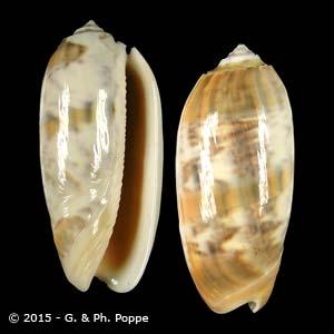 Oliva miniacea miniacea f. sylvia
