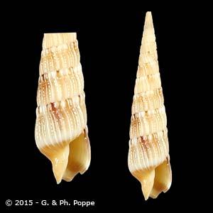 Hastulopsis conspersa