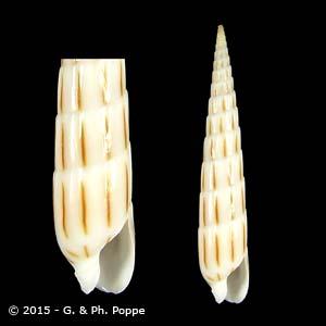 Hastula lanceata