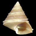 Calliostoma jacquelinae