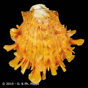Spondylus variegatus ORANGE