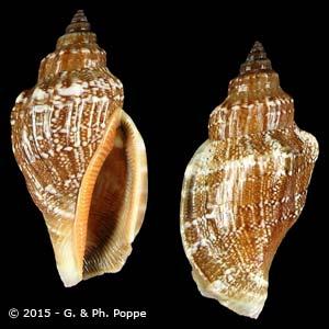 Canarium labiatum labiatum BROWN