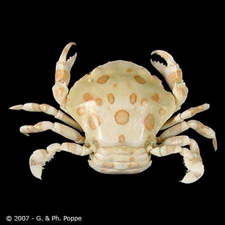 Lissocarcinus orbicularis