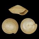 Coneuplecta cebuensis