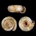 Helicodiscus parallelus