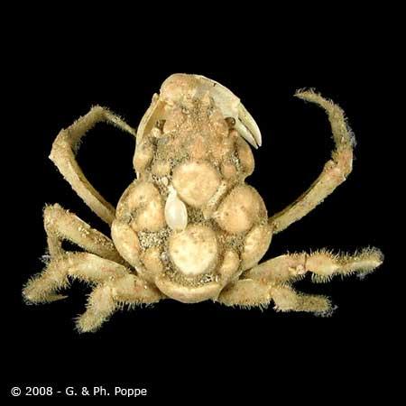 Sphenocarcinus species 002