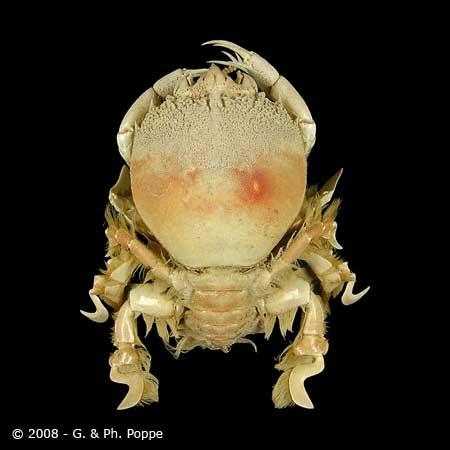 Cosmonotus species 001