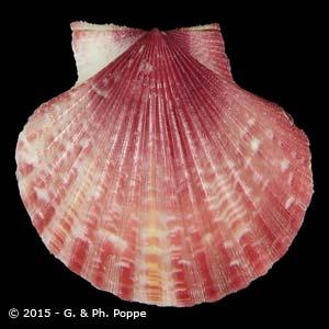 Aequipecten opercularis f. rosea