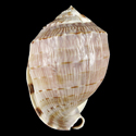 Cassis fimbriata LARGE