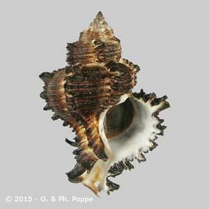 Hexaplex cichoreum f. endivia DARK
