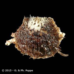 Spondylus ocellatus