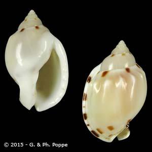Casmaria ponderosa f. nodulosa