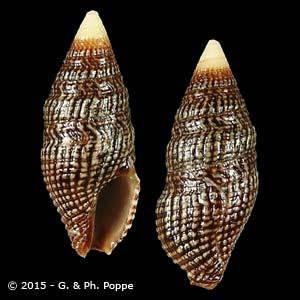 Картинки по запросу Crassispira cerithina