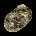 Nerita articulata cf.