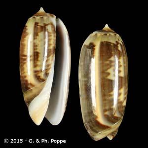 Oliva irisans f. oldi