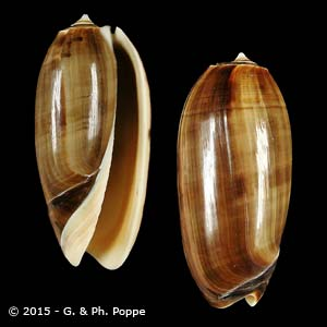 Oliva miniacea miniacea f. marrati