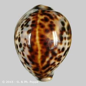 Cypraea tigris PHILIPPINES 51-65 SPECIAL COLOR