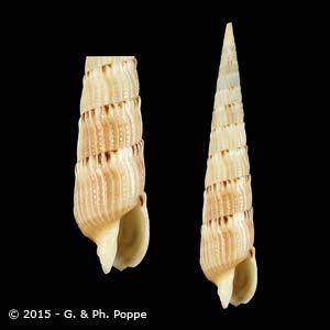 Hastulopsis amoena