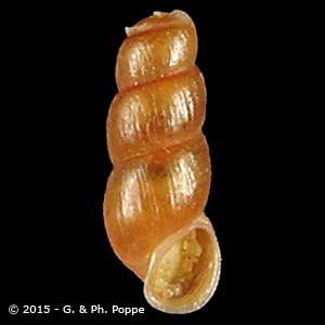 Truncatella subcylindrica