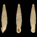 Agathylla biloba martae