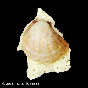 Spondylus anacanthus WHITE