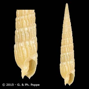 Terebra exiguoides YELLOW