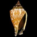 Canarium microurceus BROWN