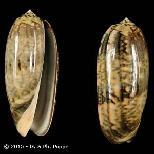 Oliva miniacea tremulina f. fumosa