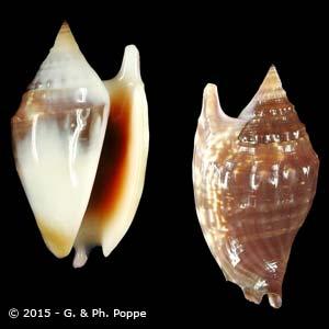 Euprotomus bulla BROWN