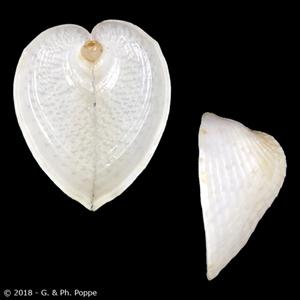Corculum cardissa f. lorenzi