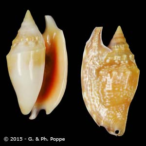 Euprotomus bulla ORANGE