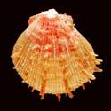 Spondylus ictericus SPECIAL COLOR
