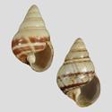 Achatinella decora