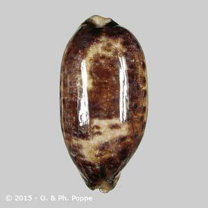 Chelycypraea testudinaria LARGE