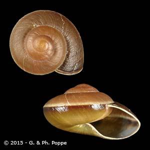 Lamarckiella oweniana PERIO