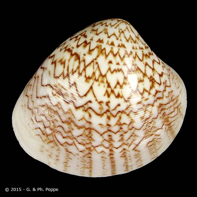Lioconcha lorenziana