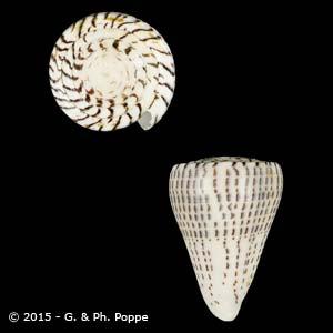 Lithoconus leopardus f. millepunctatus