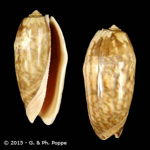Oliva miniacea miniacea f. saturata FREAK