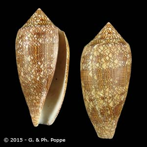 Cylinder textile textile f. archiepiscopus PERIO