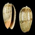 To Conchology (Oliva reticulata FREAK)