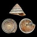 Geotrochus zonatusvan