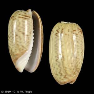 Oliva concavospira